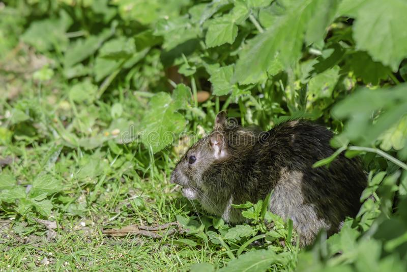 Rat on forest floor. Rat on woodland floor.Vermin infestation in communal parks.Stoke on Trent, Staffordshire,UK royalty free stock images
