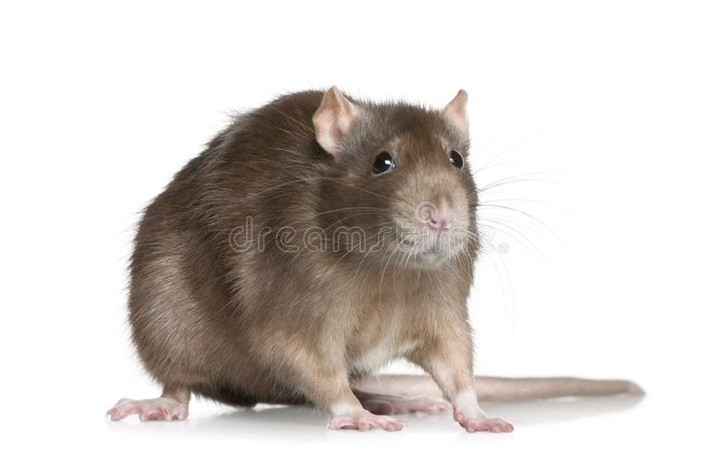 Rat, 1 year old, in front of white background stock photos