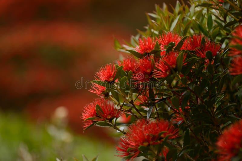 Rata花卉生长在Otira峡谷 库存照片