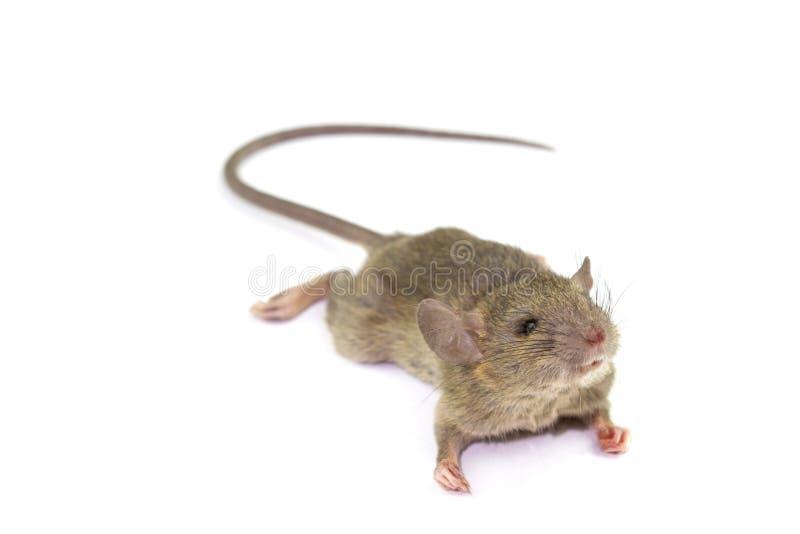 Rata animal del ratón que come el scrapsbin de la comida aislado en el fondo blanco foto de archivo libre de regalías