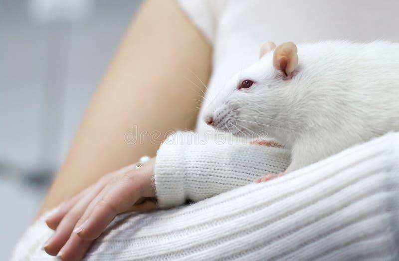 Rata blanca en la mano de la mujer fotografía de archivo