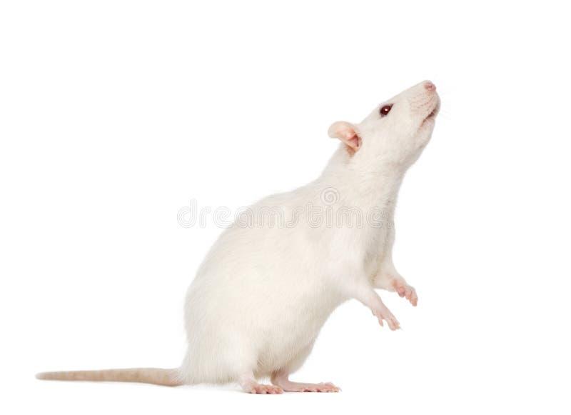 Rata blanca en las piernas traseras (8 meses) foto de archivo libre de regalías
