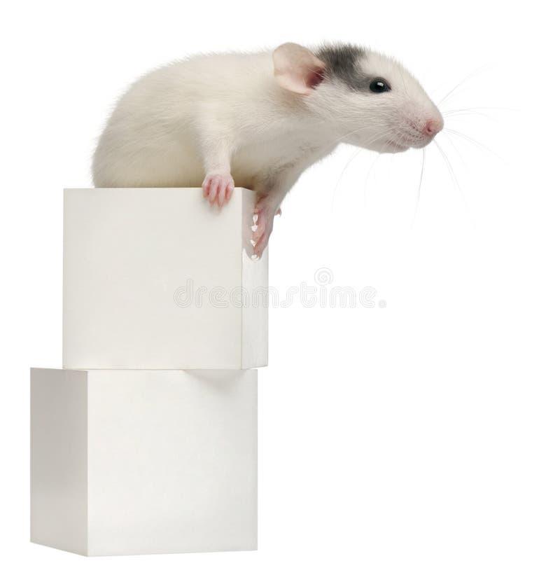 Rata común de la rata o de alcantarilla o rata de embarcadero fotos de archivo libres de regalías