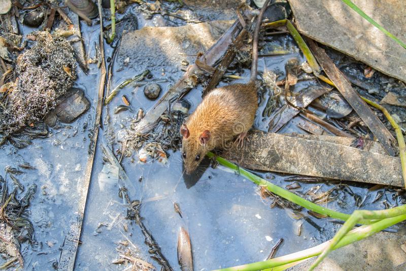 Rata de Brown grande en agua sucia fotografía de archivo