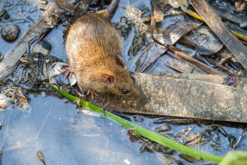 Rata de Brown grande en agua sucia foto de archivo