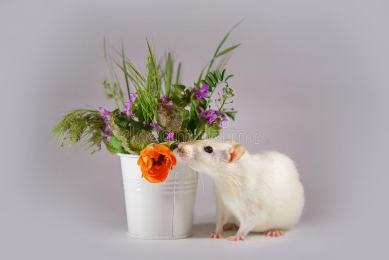 Rata decorativa blanca al lado de las flores fotografía de archivo libre de regalías