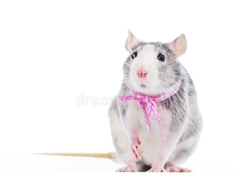 Rata decorativa divertida con el arqueamiento rosado fotografía de archivo