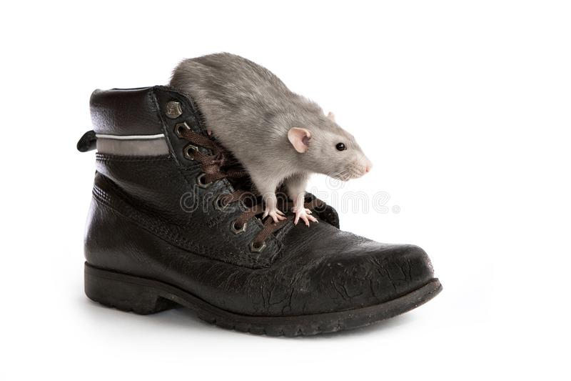 Rata decorativa en una bota vieja en un fondo aislado blanco, animal doméstico del dumbo fotografía de archivo