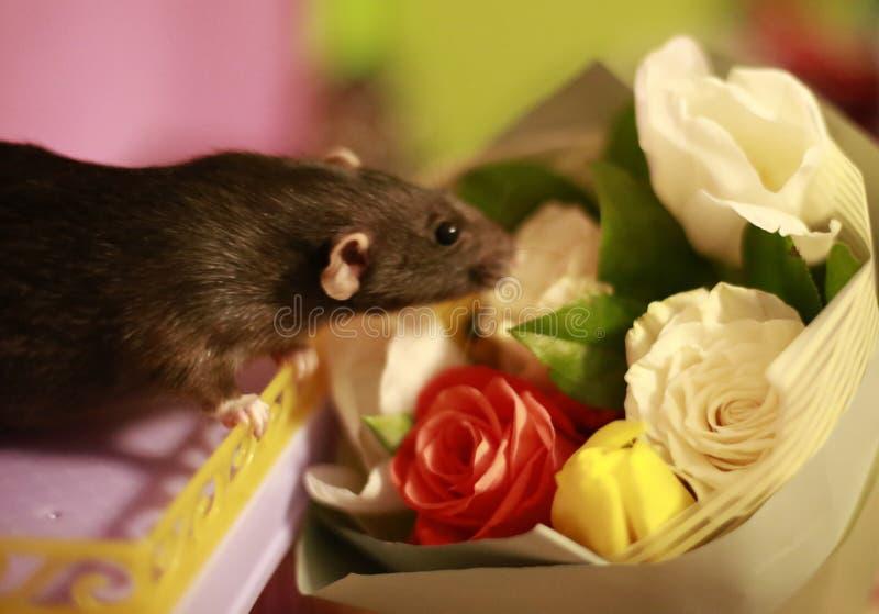 Rata decorativa negra y un ramo de flores de la primavera fotos de archivo libres de regalías
