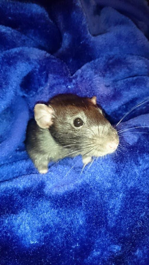 rata del animal doméstico imagenes de archivo