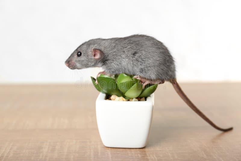 Rata divertida linda y planta decorativa fotografía de archivo
