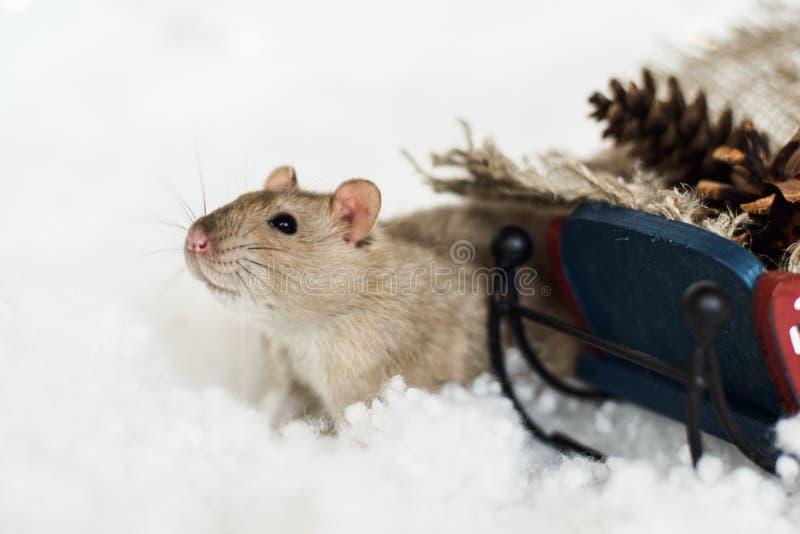 Rata divertida que mira fuera del trineo de las decoraciones de la Navidad foto de archivo libre de regalías