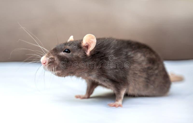 Rata gris aislada en el fondo blanco imagen de archivo