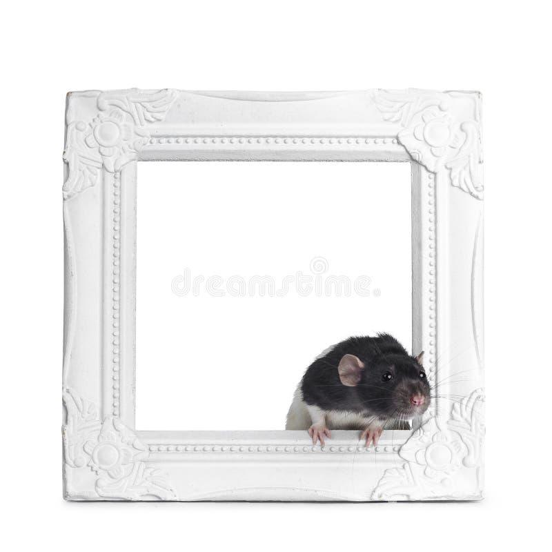Rata linda del dumbo en el fondo blanco fotos de archivo