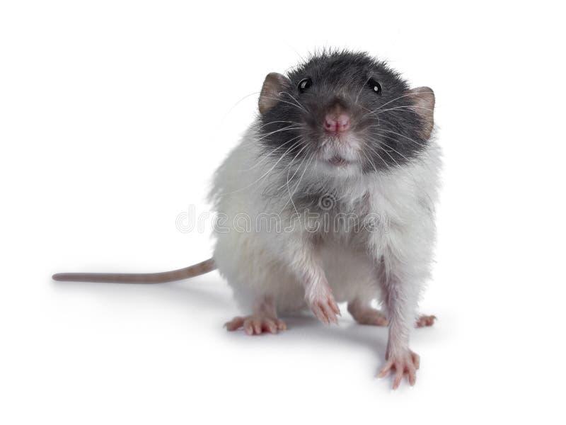 Rata linda del dumbo en el fondo blanco foto de archivo libre de regalías