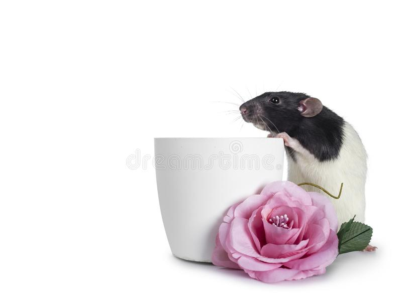 Rata linda del dumbo en el fondo blanco fotografía de archivo