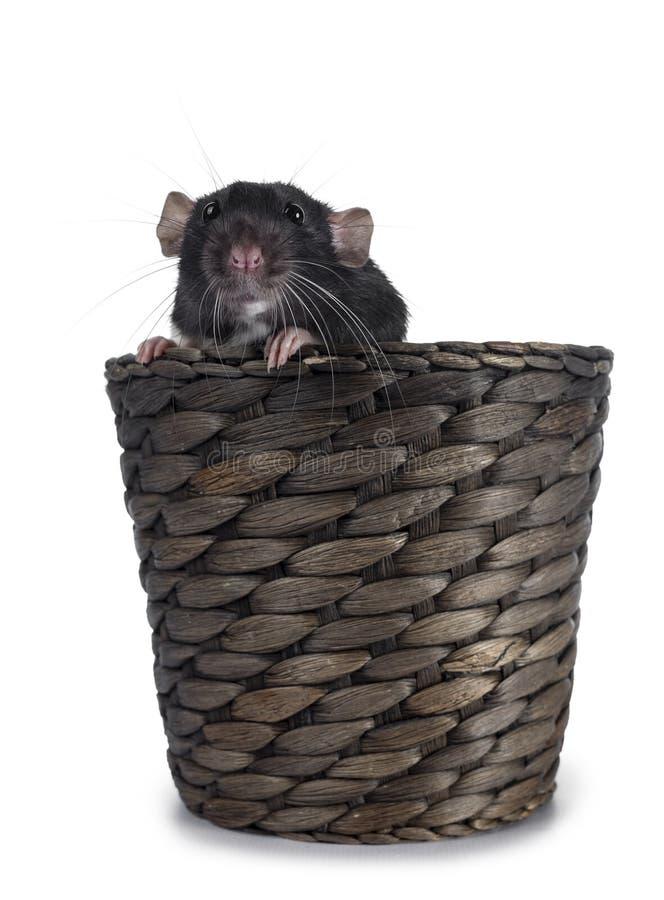 Rata linda del dumbo en el fondo blanco imagenes de archivo