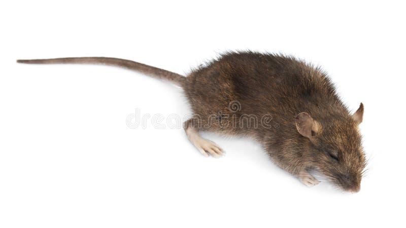 Rata Muerta Imagen de archivo