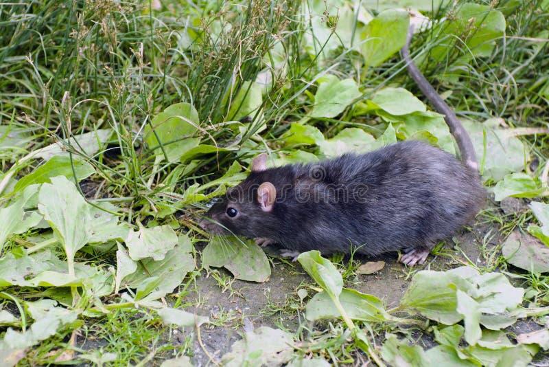 Rata negra en la hierba fotos de archivo