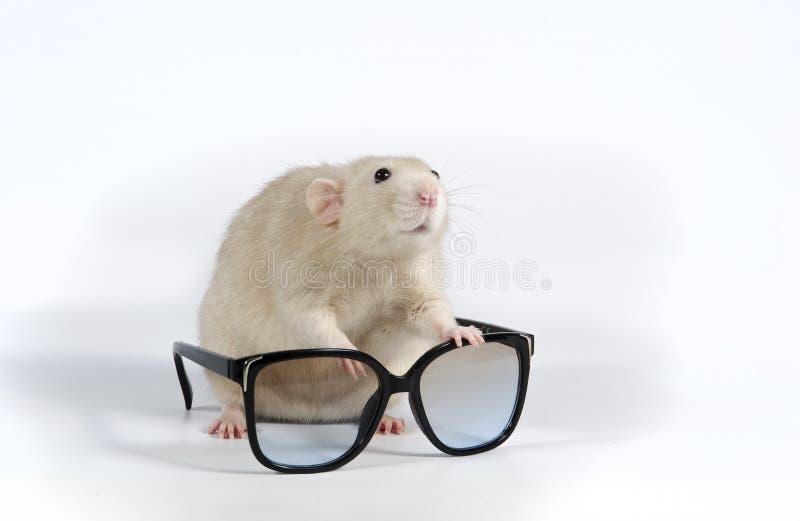 Rata y gafas de sol decorativas fotografía de archivo