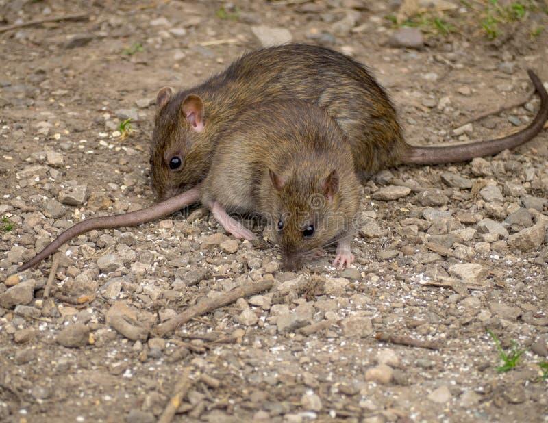 ratas imagenes de archivo