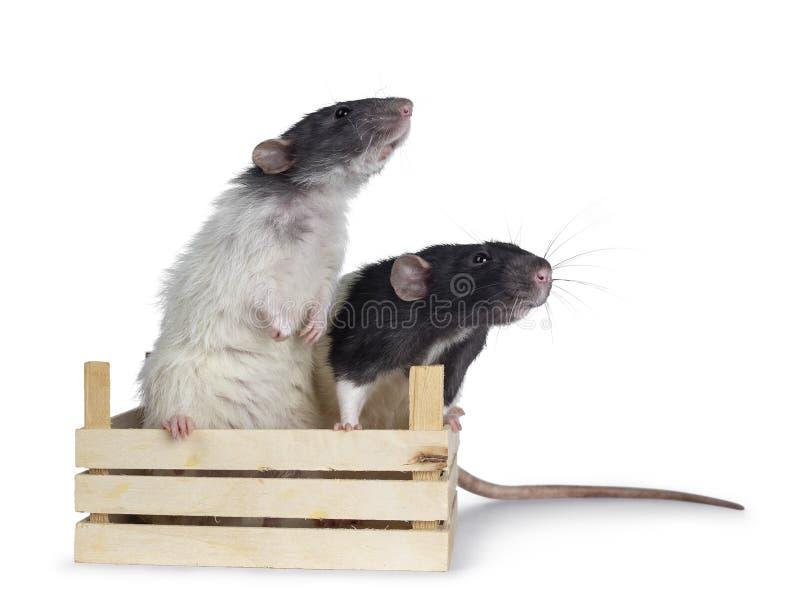 Ratas blancos y negros lindas del dumbo en el fondo blanco fotos de archivo