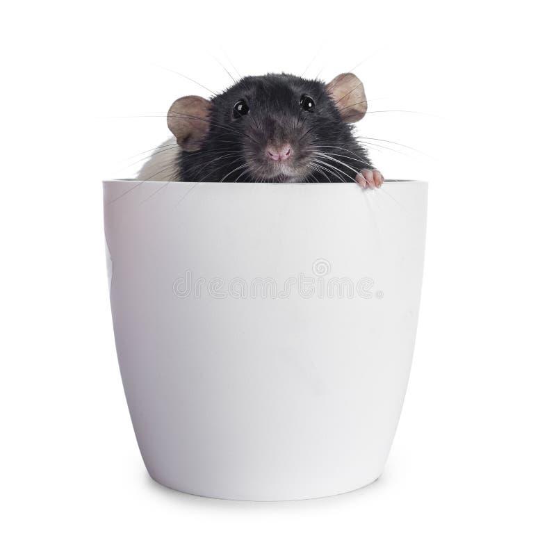 Ratas blancos y negros lindas del dumbo en el fondo blanco foto de archivo
