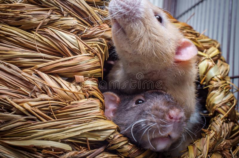 Ratas del animal doméstico de la suposición imagenes de archivo