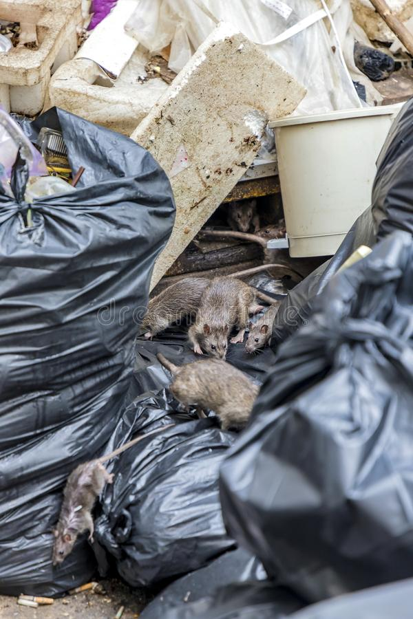 Ratas en la espuma vieja de la basura y los bolsos negros imagen de archivo