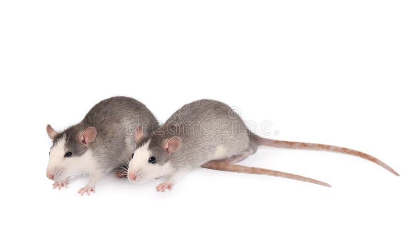 Ratas jóvenes divertidas aisladas en blanco. Mascotas de roedor. Dos ratas domesticadas se cierran. Ratas miran la cámara foto de archivo