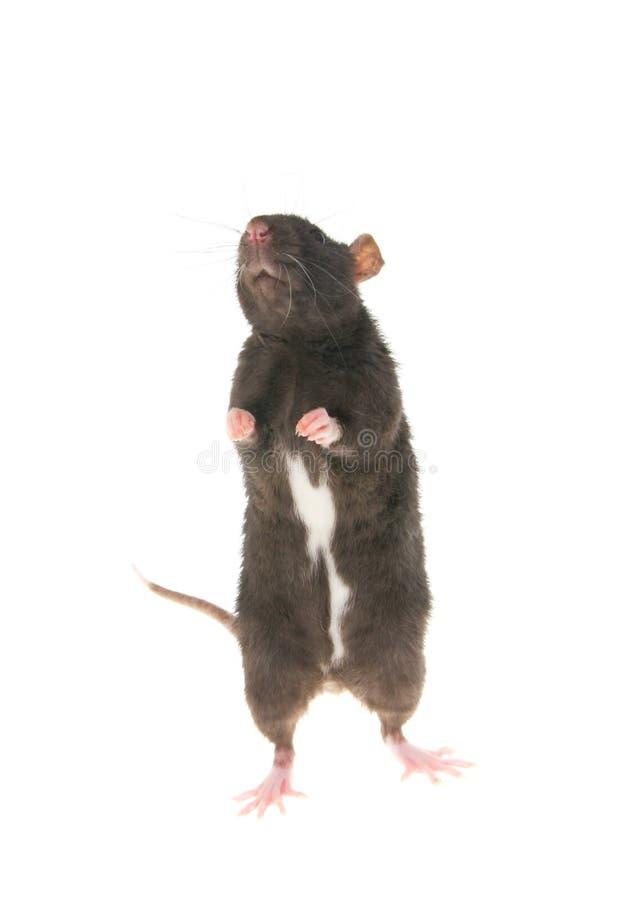 Download Rato imagem de stock. Imagem de doméstico, cabeça, pets - 16860993