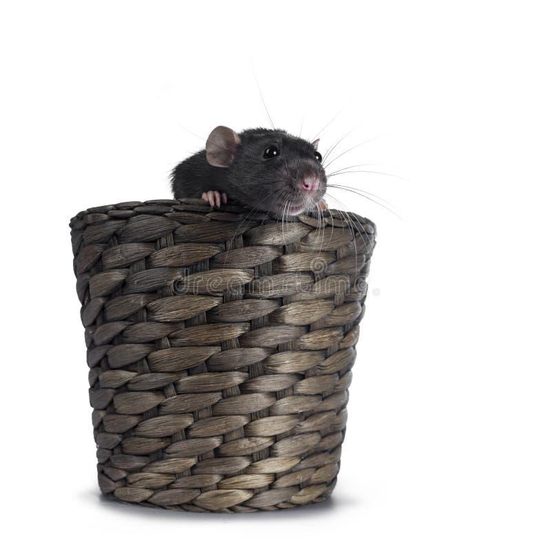 Rato bonito do dumbo no fundo branco fotos de stock