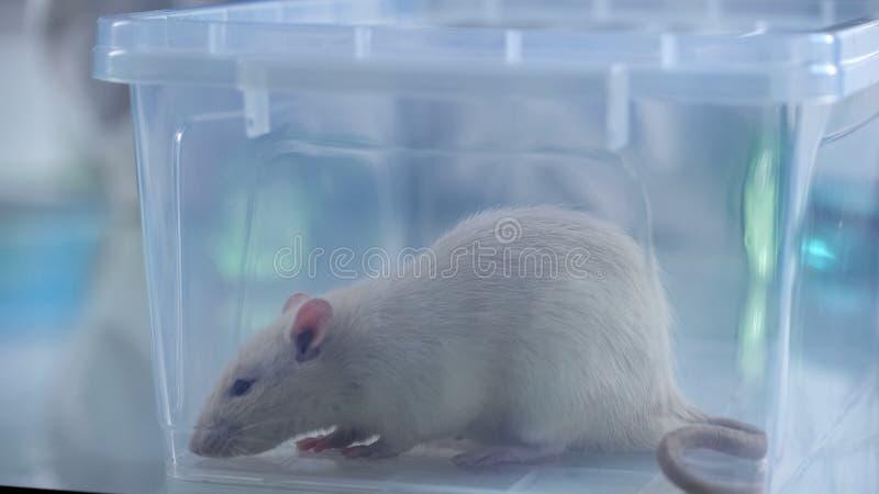 Rato branco bonito do teste que senta-se na caixa plástica, serviço veterinário da clínica, ciência fotografia de stock royalty free