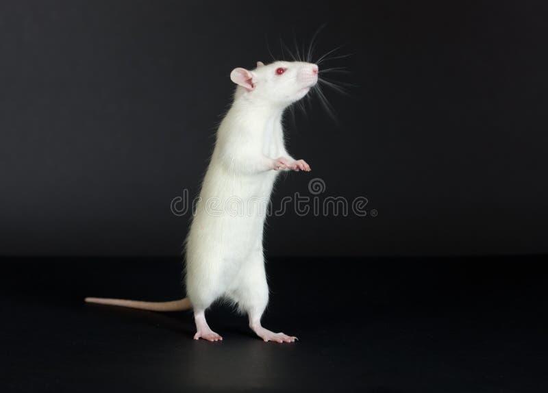 Rato branco doméstico imagem de stock