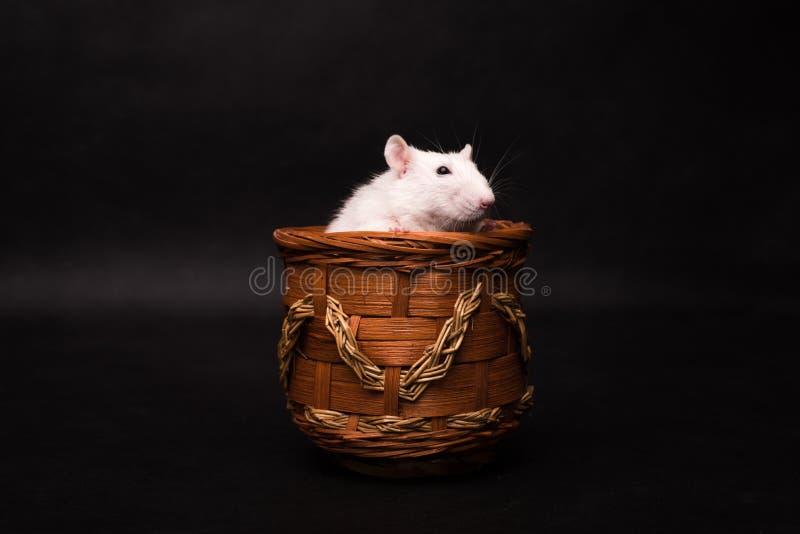 Rato branco isolado no fundo escuro imagens de stock