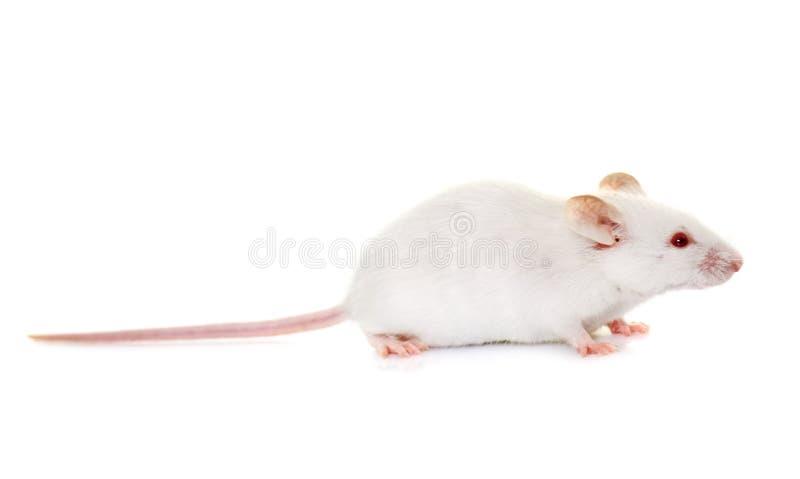 Rato branco no estúdio fotografia de stock royalty free