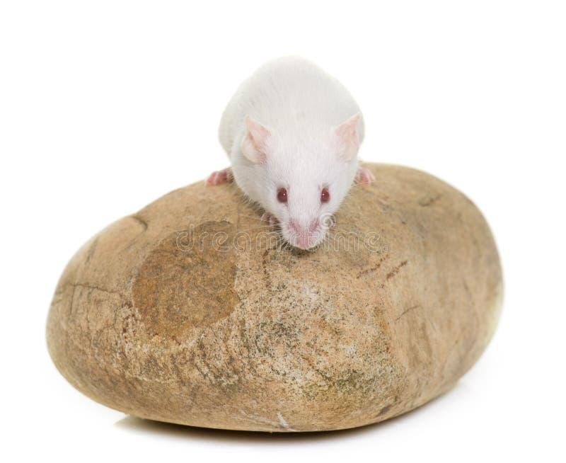 Rato branco no estúdio imagens de stock