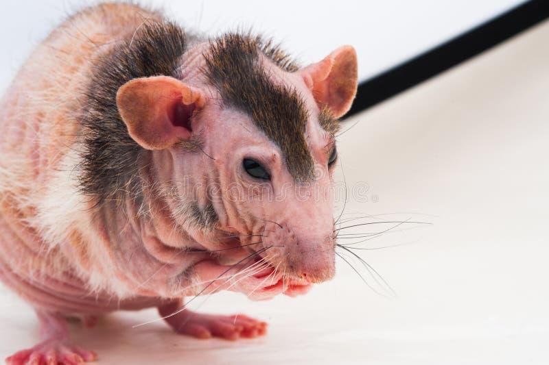 Rato calvo da esfinge fotos de stock