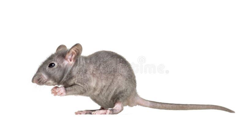 Rato calvo novo, isolado fotografia de stock