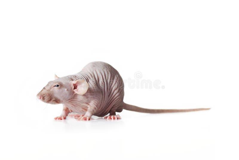 Rato calvo, vista lateral isolado no fundo branco imagem de stock royalty free