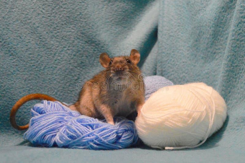 Rato cinzento bonito com os skeins de lãs de confecção de malhas em um fundo azul foto de stock royalty free