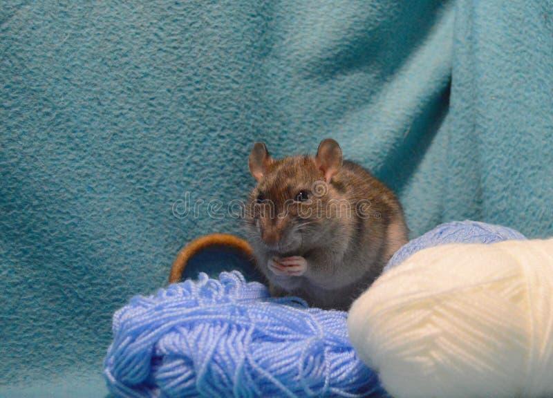 Rato cinzento bonito com os skeins de lãs de confecção de malhas em um fundo azul fotos de stock