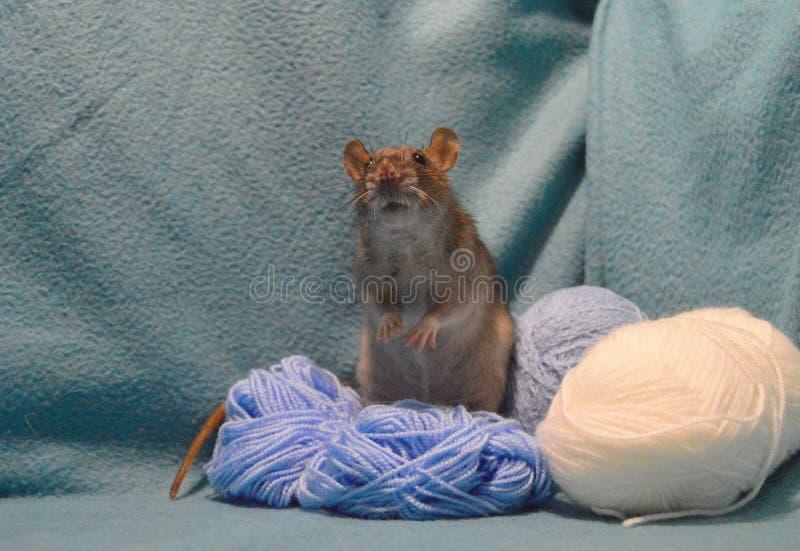 Rato cinzento bonito com os skeins de lãs de confecção de malhas em um fundo azul fotografia de stock royalty free