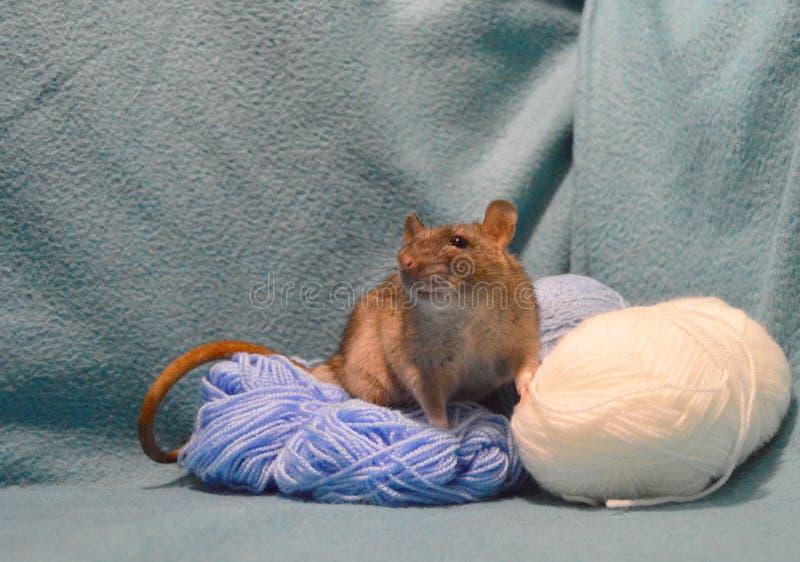 Rato cinzento bonito com os skeins de lãs de confecção de malhas em um fundo azul imagens de stock