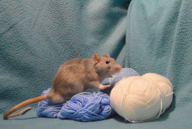 Rato cinzento bonito com os skeins de lãs de confecção de malhas em um fundo azul fotos de stock royalty free