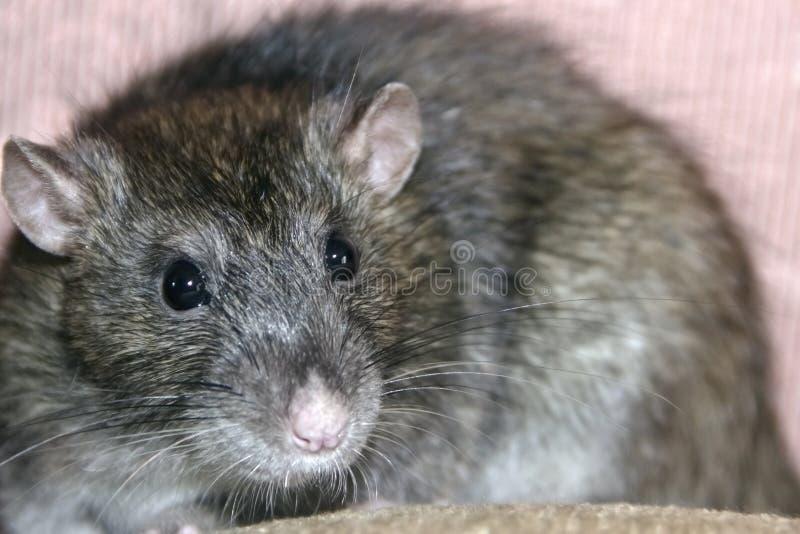 Rato cinzento caseiro foto de stock