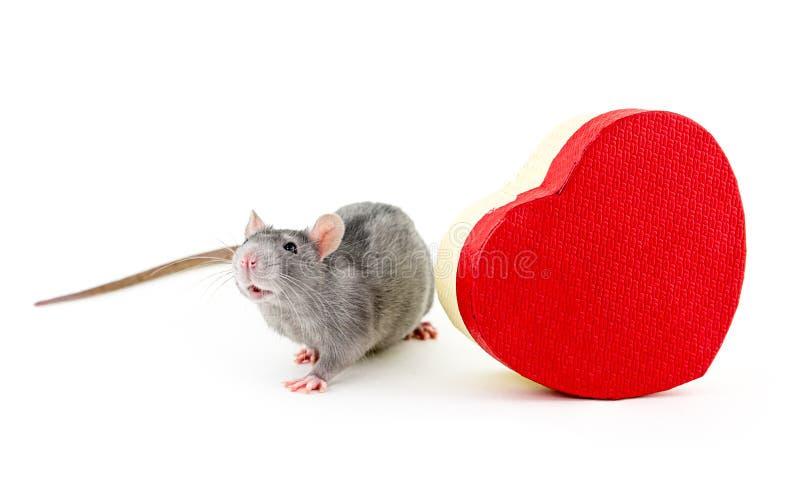 Rato cinzento com o projeto vermelho do feriado do Valentim de Saint do símbolo do dia da forma do coração da caixa de presente f foto de stock