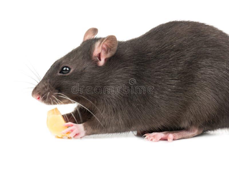 Rato cinzento com queijo fotos de stock