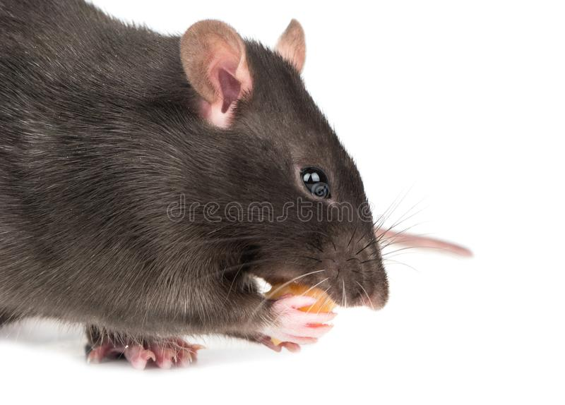 Rato cinzento com queijo foto de stock