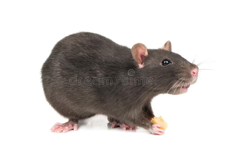Rato cinzento com queijo imagens de stock
